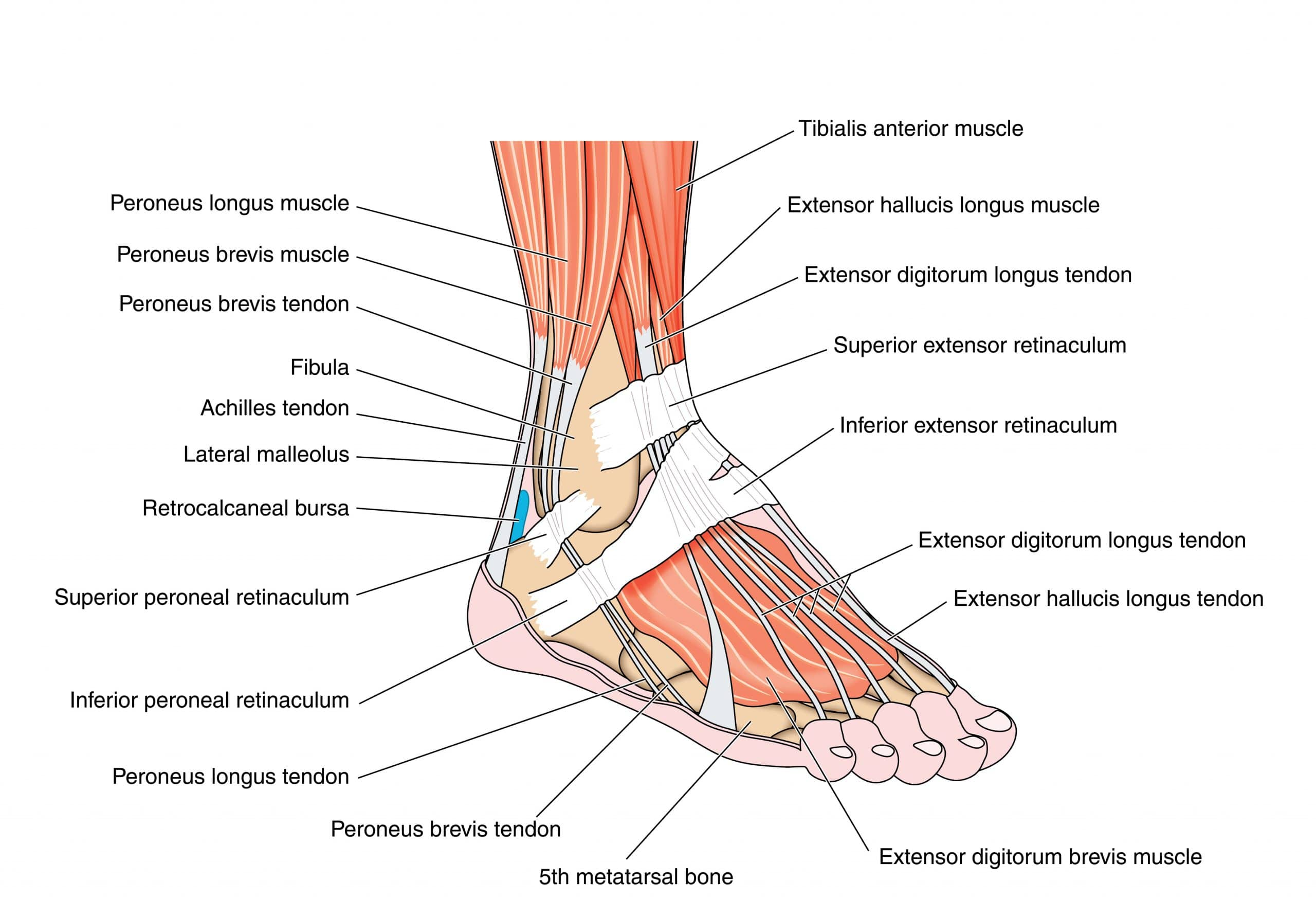 Anatomy of the Ankle Joint & Common Conditions - Orthosports